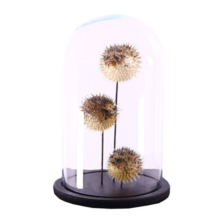 Bell jar with 3 Porcupine Fish