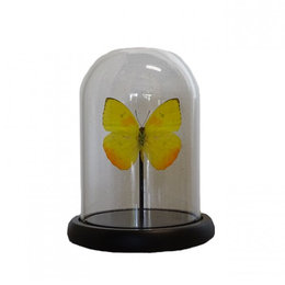 Bell jar with 1 Papilio Phoebis Argante
