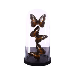 Bell jar with 3 Papilio Lady