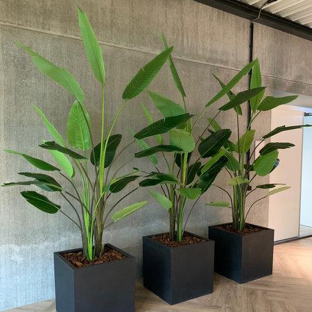 Strelitzia Plant
