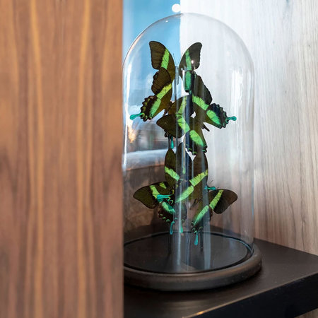 Bell jar with 6 Papilio Blumei