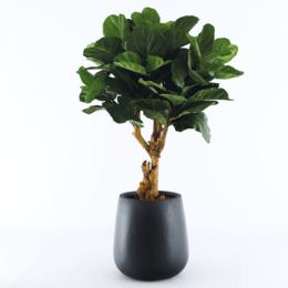 Pax M Zwart gevuld met Ficus H125