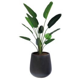 Pax XL Zwart gevuld met Strelitzia H190