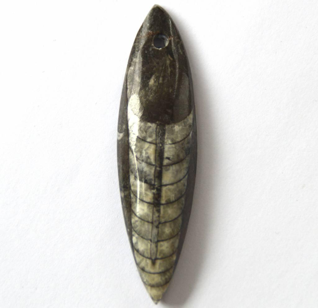 fossiler Orthoceras