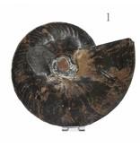 sehr große versteinerte Ammonitenfossilhälften / Ammonitenpaar XXL
