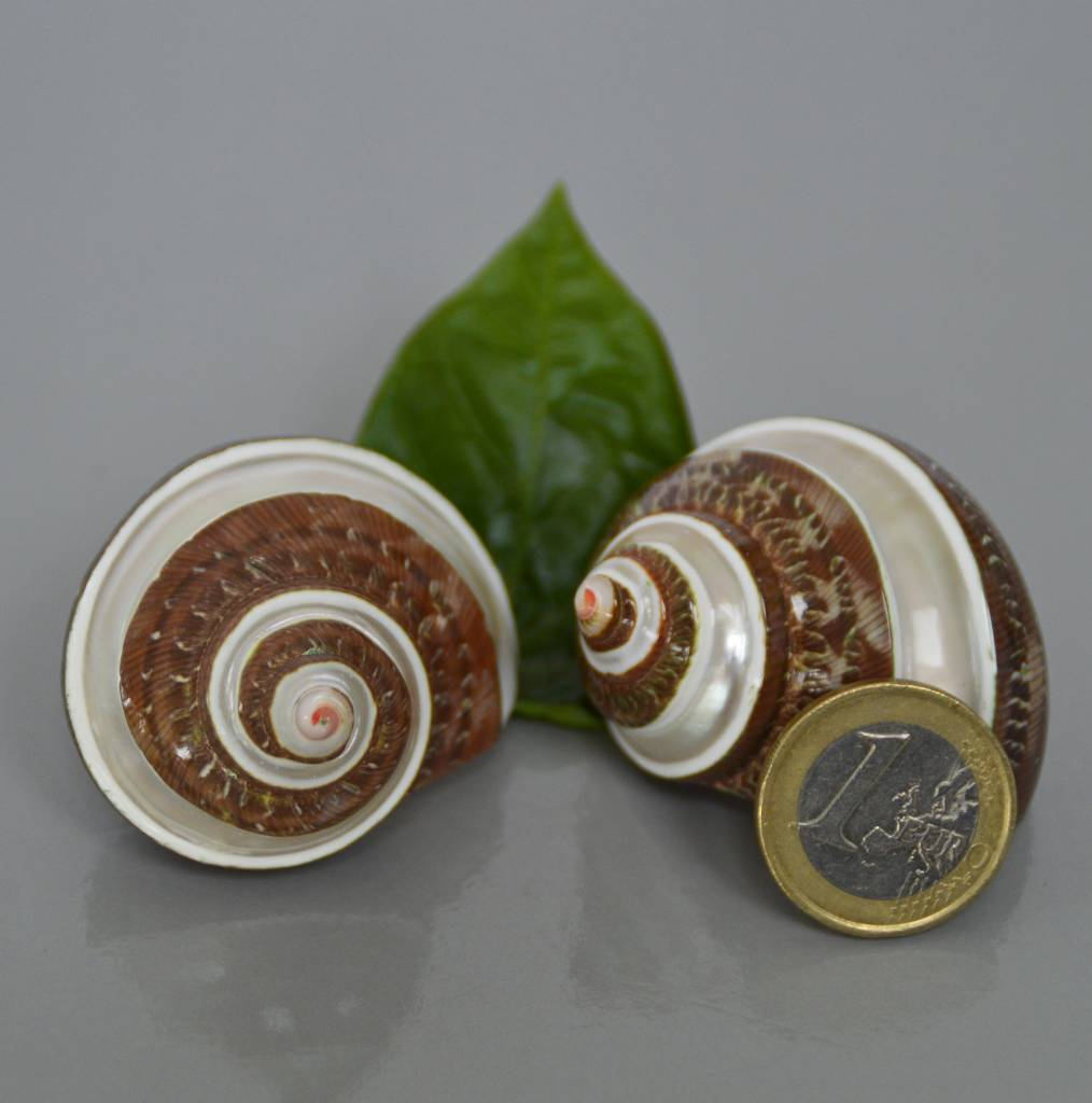 Turbanschnecke braun gebändert - Turbo Petholatus