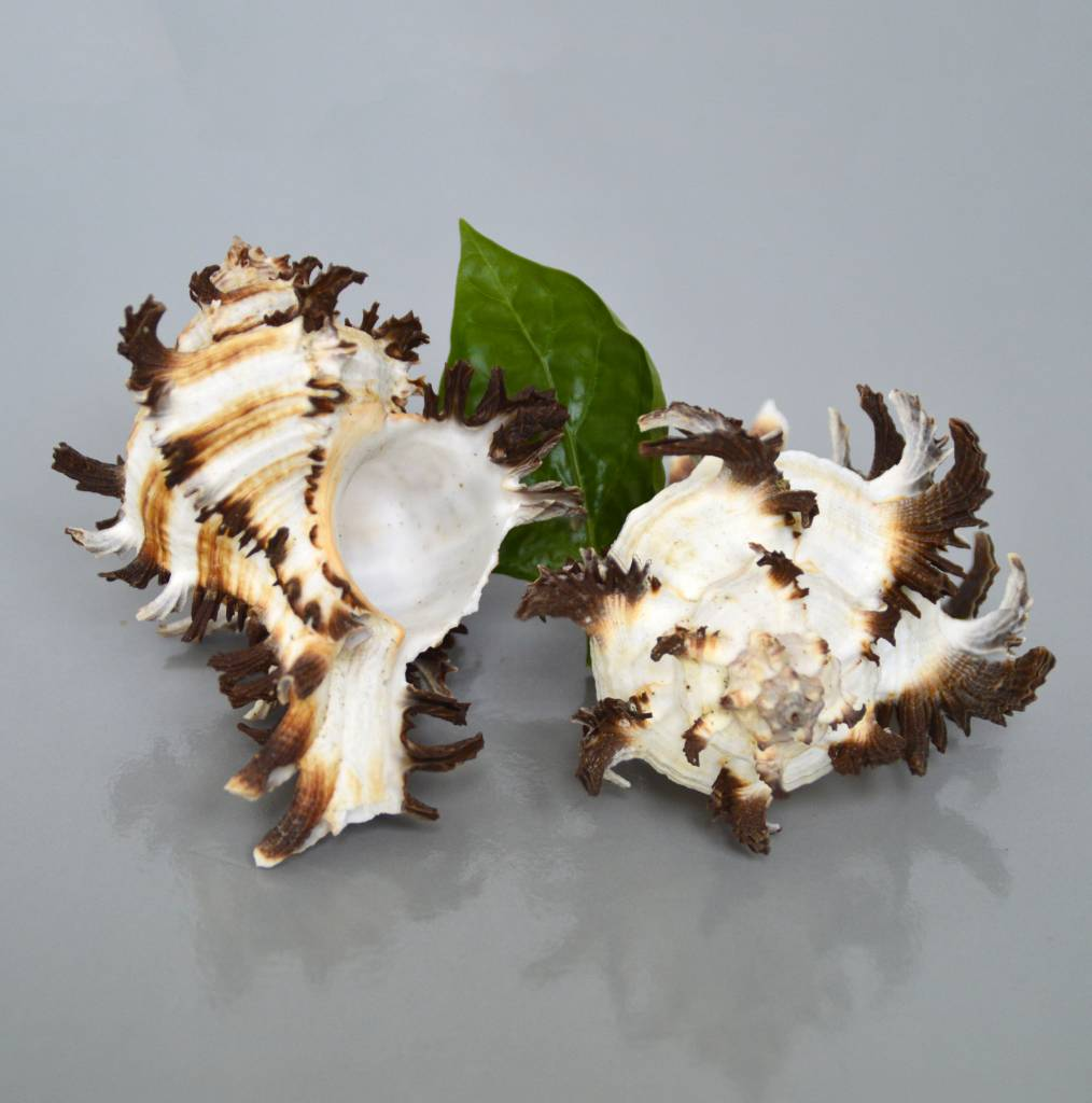 Hexaplex cichoreum oder Endivie Murex