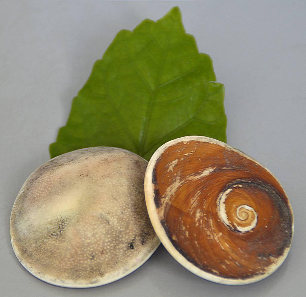 Operculum Natur - Shivas Auge bei Steinfreuden