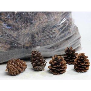 Pinus Halepensis 10 kg