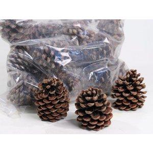 Pinus Pinea Dennenappels 9-11cm