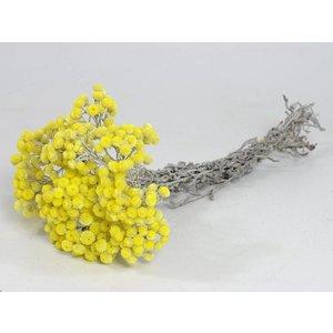 Helichrysum Immortelle 40cm
