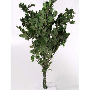 Eikenblad Groen 50-60cm