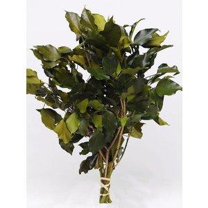 Hedera Klimop Groen 40-50cm