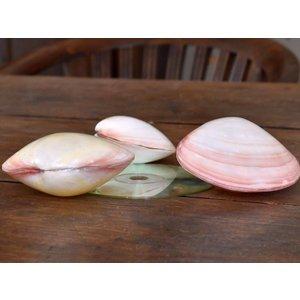 Schelpen Kering Pink 8-11cm