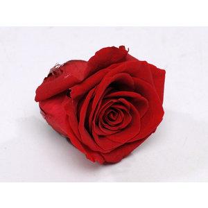 Rozenkop 5cm Rood