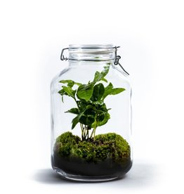 Growing Concepts Growing Concepts Jar Large Coffea Arabica