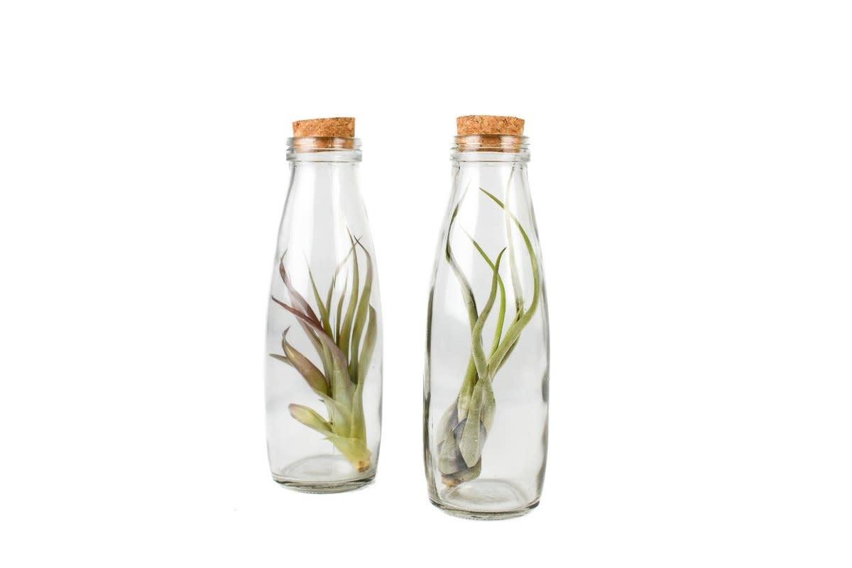 Queen Airplants Queen Airplants Tillandsia Milk Bottle