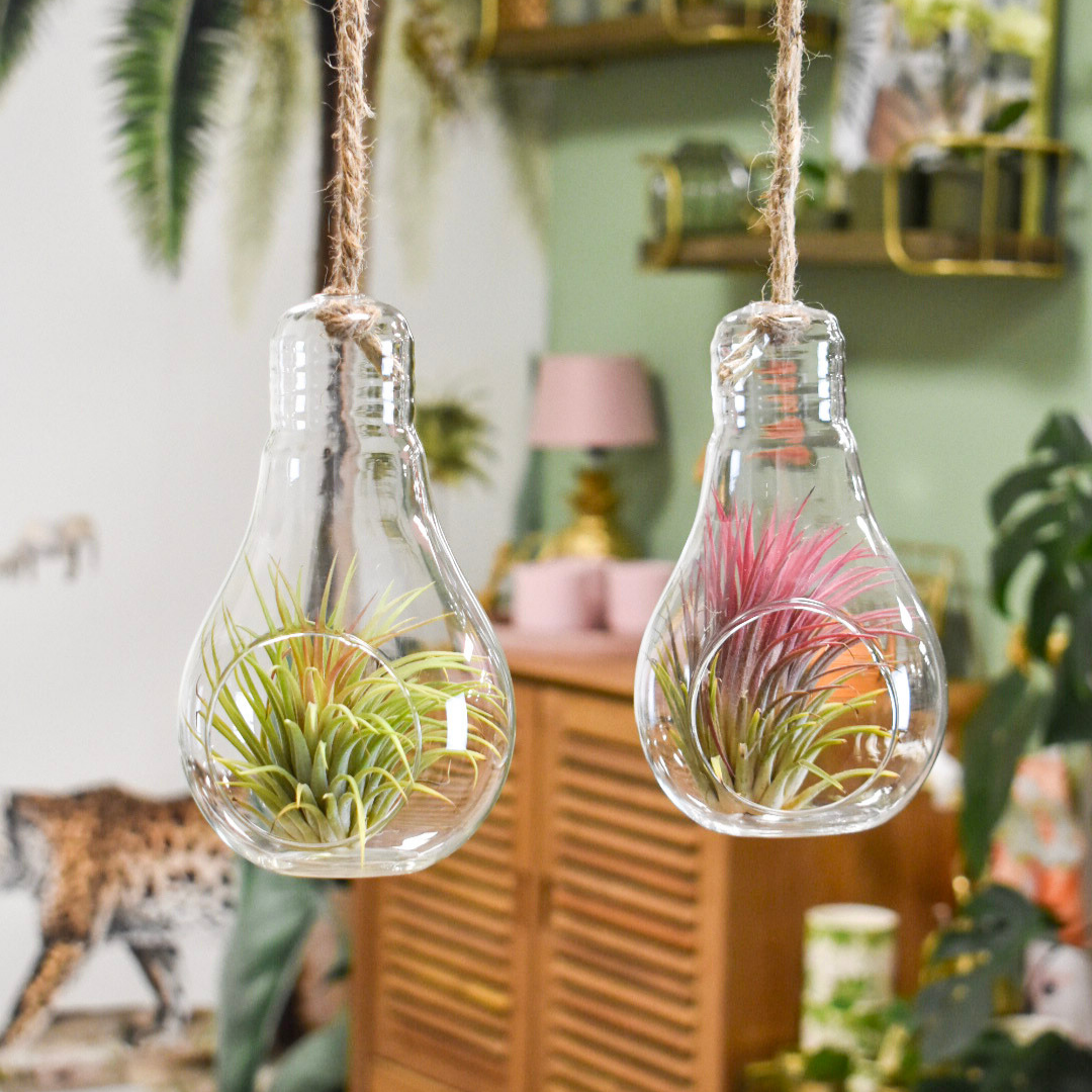 Queen Airplants Queen Airplants Tillandsia light bulb Glas
