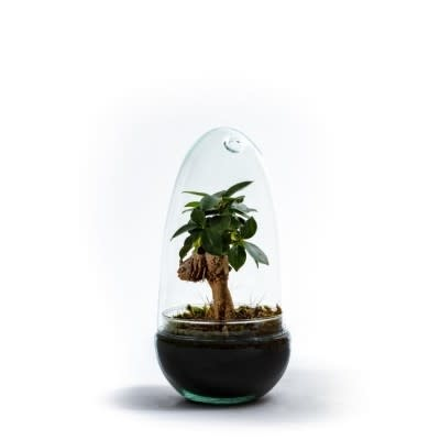 Growing Concepts Growing Concepts Ficus Ginseng Egg Medium
