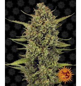 Barneys Farm Acapulco Gold cannabis seeds