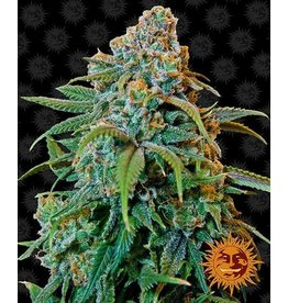 Barneys Farm Liberty Haze cannabis seeds