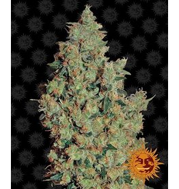 Barneys Farm Cannabissamen Tangerine Dream