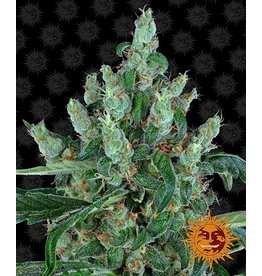 Barneys Farm Graines de cannabis Laughing Buddha