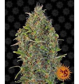 Barneys Farm Critical Kush Auto cannabis seeds