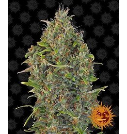 Barneys Farm Graines de cannabis Critical Kush Auto