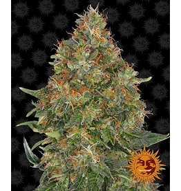 Barneys Farm Cannabissamen Pineapple Express Auto