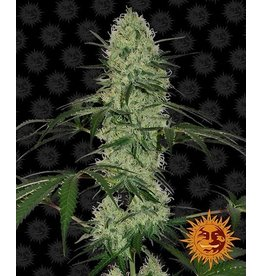 Barneys Farm Cannabissamen Tangerine Dream Auto