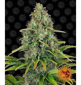 Barneys Farm Graines de cannabis Bubba Kush