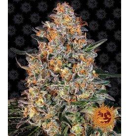 Barneys Farm CBD Blue Shark cannabis seeds