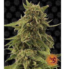 Barneys Farm CBD Critical Cure cannabis seeds