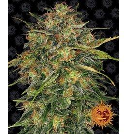 Barneys Farm Cheese cannabis seeds