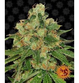Barneys Farm Cannabis seeds CBD Caramel - Regular