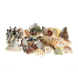 SEAURCO Assorted Small Shells X100