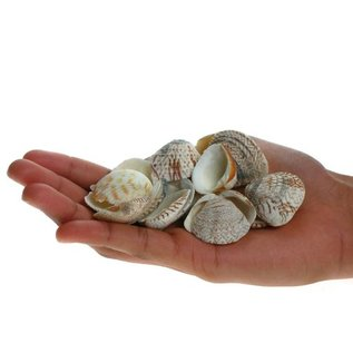 Brown Venus Clams