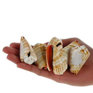 SEAURCO Blood Mouth Conch