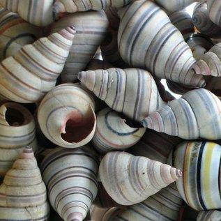 Haitian Tree Snail