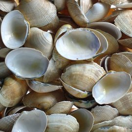 Yellow Clams