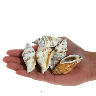 Large Bear Conch