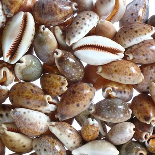 SEAURCO Assorted Lynx Cowries