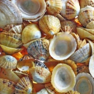 SEAURCO English Limpets