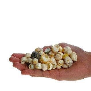SEAURCO Assorted White Teeth Nerita