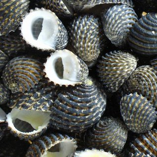 Assorted Exuvia Nerita