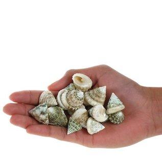 Assorted Mini Trocus