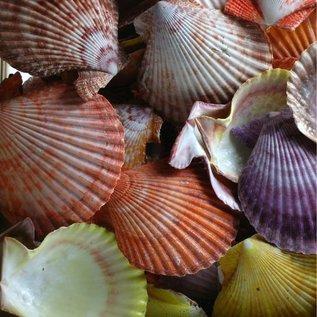 SEAURCO Coloured Pecton Nobilis