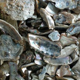 SEAURCO Abalone Pieces