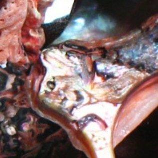 Abalone Polished Offcuts - Peach
